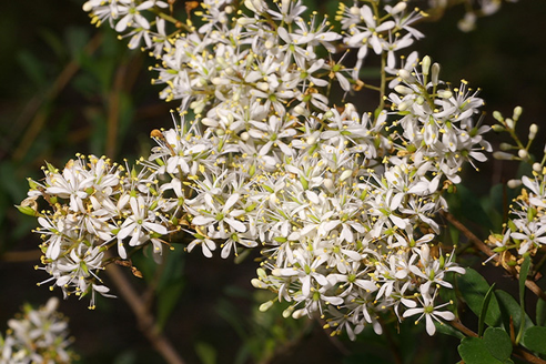 Close up of delicate white/cream flowers