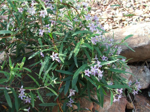 Trailing, twining plant with dark green leaves and small purple flowers draped over a stone wall