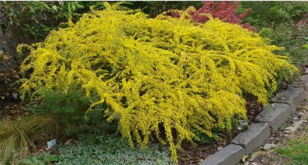 Low growing wattle with bright yellow flowers