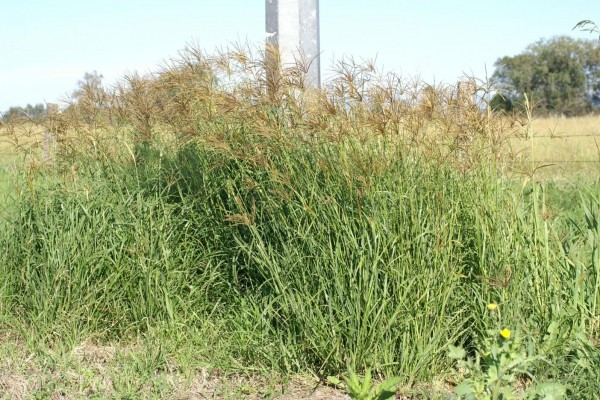 Rhodes grass on roadside